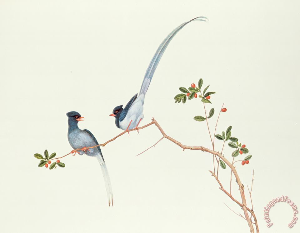 Chinese School Red Billed Blue Magpies On A Branch With Red Berries Art Print