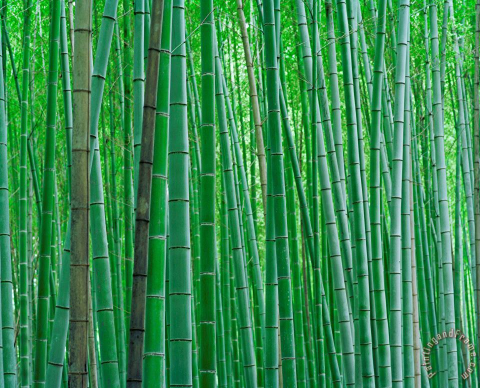 Bright Green Bamboo Forest in Kyoto Japan painting - Collection Bright Green Bamboo Forest in Kyoto Japan Art Print