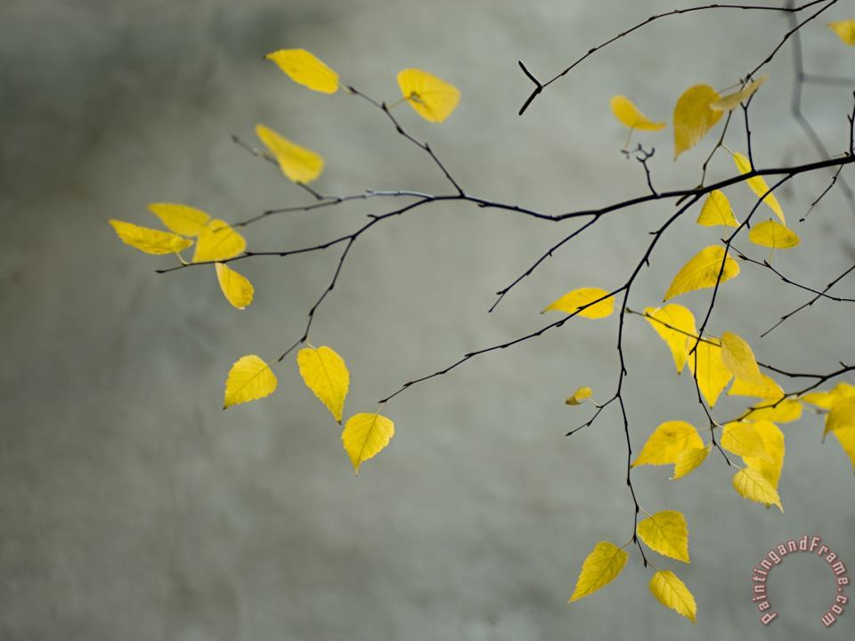 Yellow Autumnal Birch Betula Tree Limbs Against Gray Stucco Wall painting - Collection Yellow Autumnal Birch Betula Tree Limbs Against Gray Stucco Wall Art Print