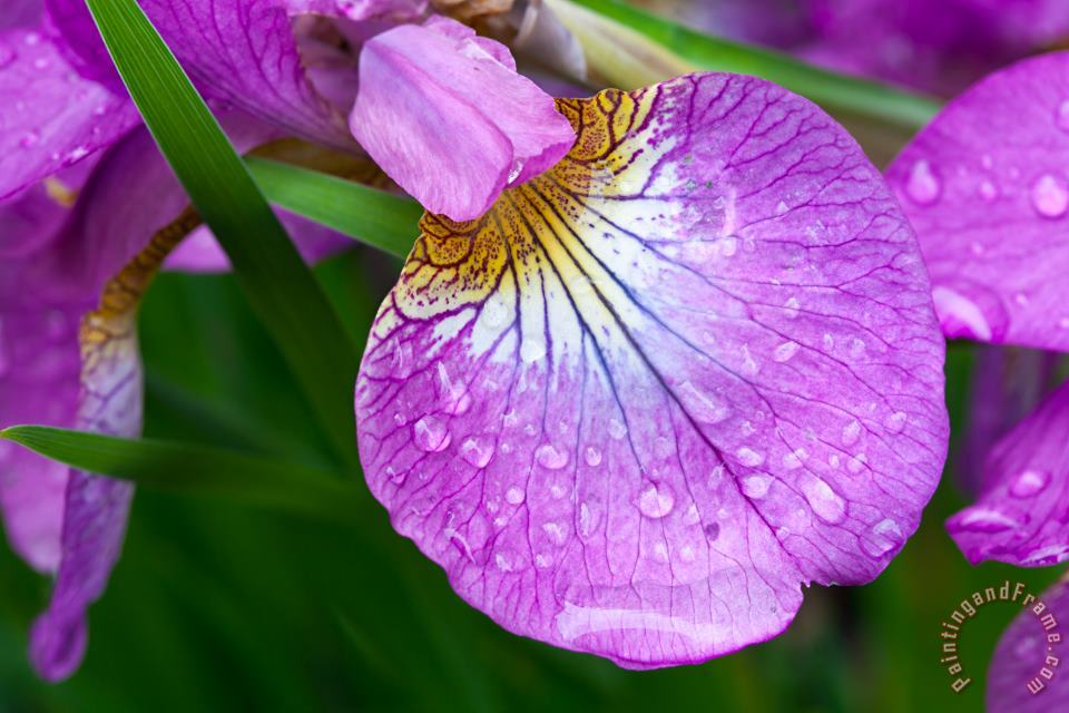 Collection 3 Purple Iris with Spring Rain Drops Art Print