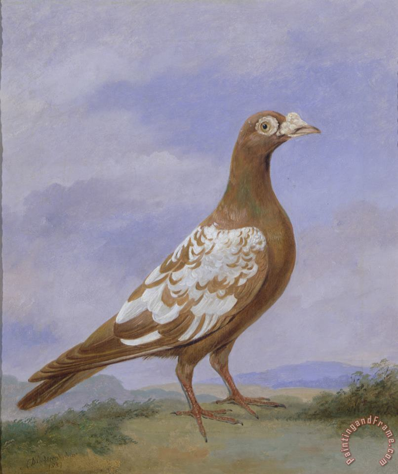 Red Pied Carrier Pigeon painting - D the younger Wolstenholme Red Pied Carrier Pigeon Art Print