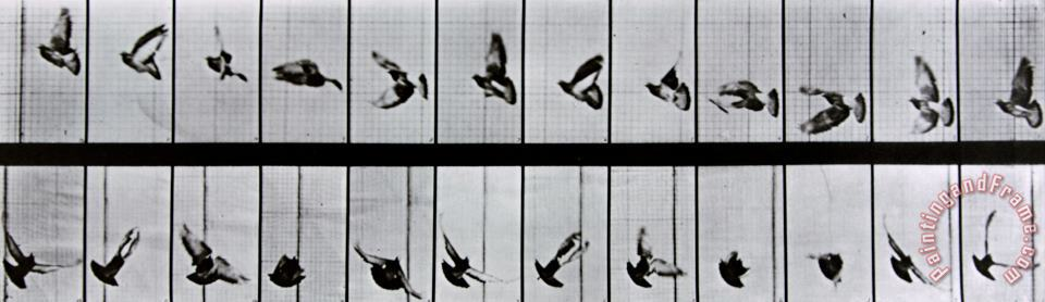 Flying Bird painting - Eadweard Muybridge Flying Bird Art Print