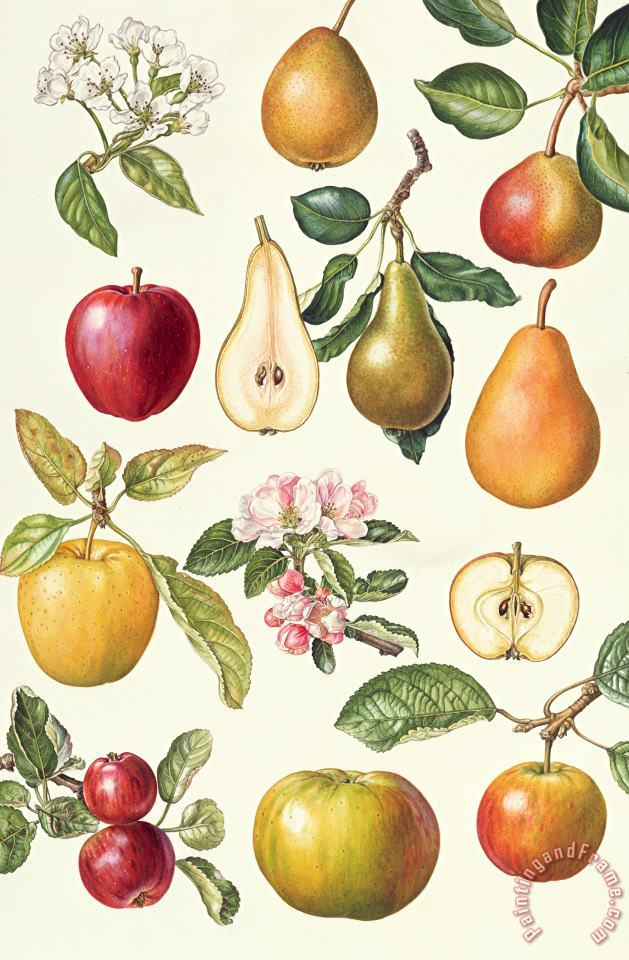 Apples and Pears painting - Elizabeth Rice Apples and Pears Art Print