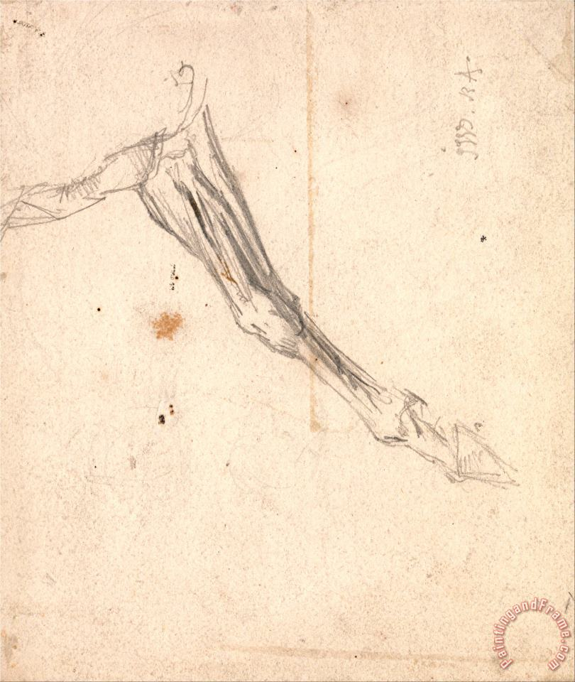 Horse's Foreleg Possibly a Study for