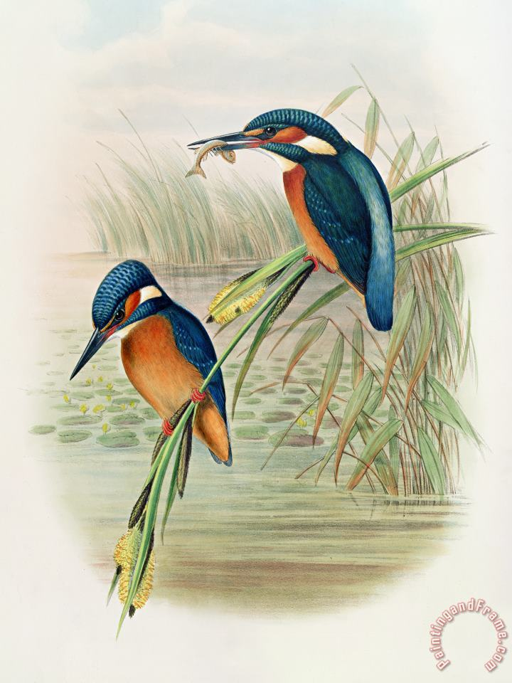 Alcedo Ispida Plate From The Birds Of Great Britain By John Gould painting - John Gould William Hart Alcedo Ispida Plate From The Birds Of Great Britain By John Gould Art Print
