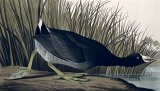 American Coot by John James Audubon