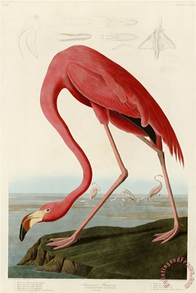 John James Audubon American Flamingo Art Print