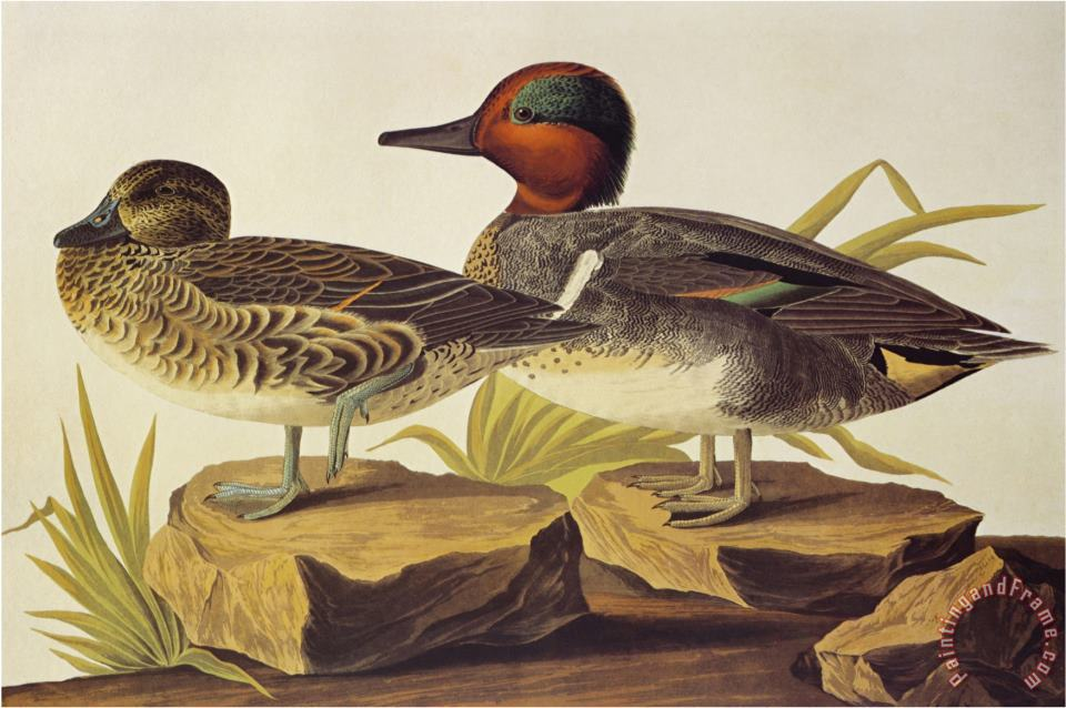 American Green Winged Teal painting - John James Audubon American Green Winged Teal Art Print