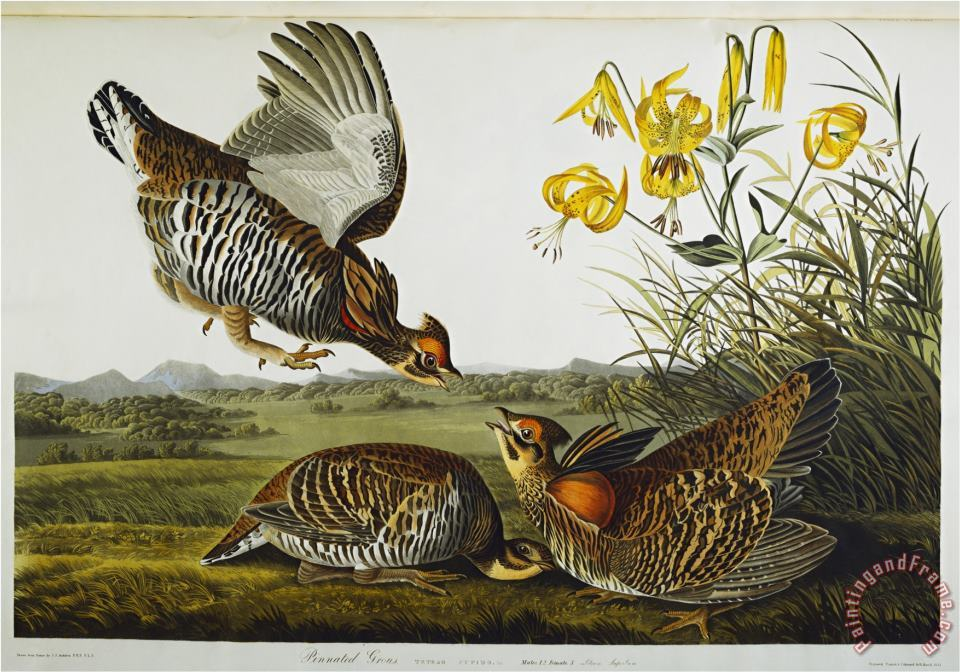 John James Audubon Audubon Pinnated Grouse Greater Prairie Chicken Art Print