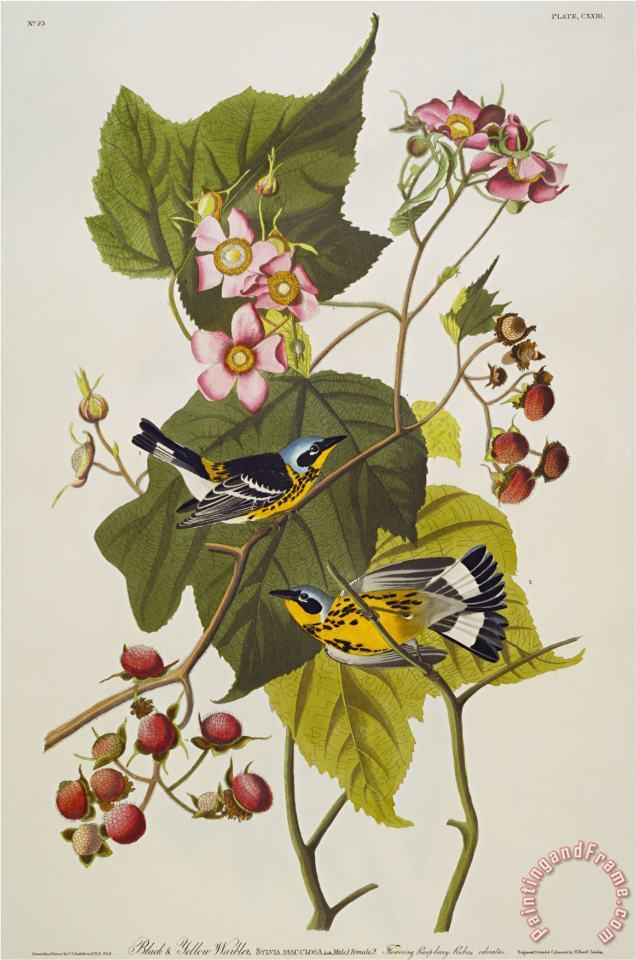 Black Yellow Magnolia Warbler Dendroica Magnolia Plate Cxxiii From The Birds of America painting - John James Audubon Black Yellow Magnolia Warbler Dendroica Magnolia Plate Cxxiii From The Birds of America Art Print
