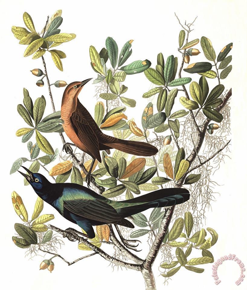 Boat Tailed Grackle painting - John James Audubon Boat Tailed Grackle Art Print