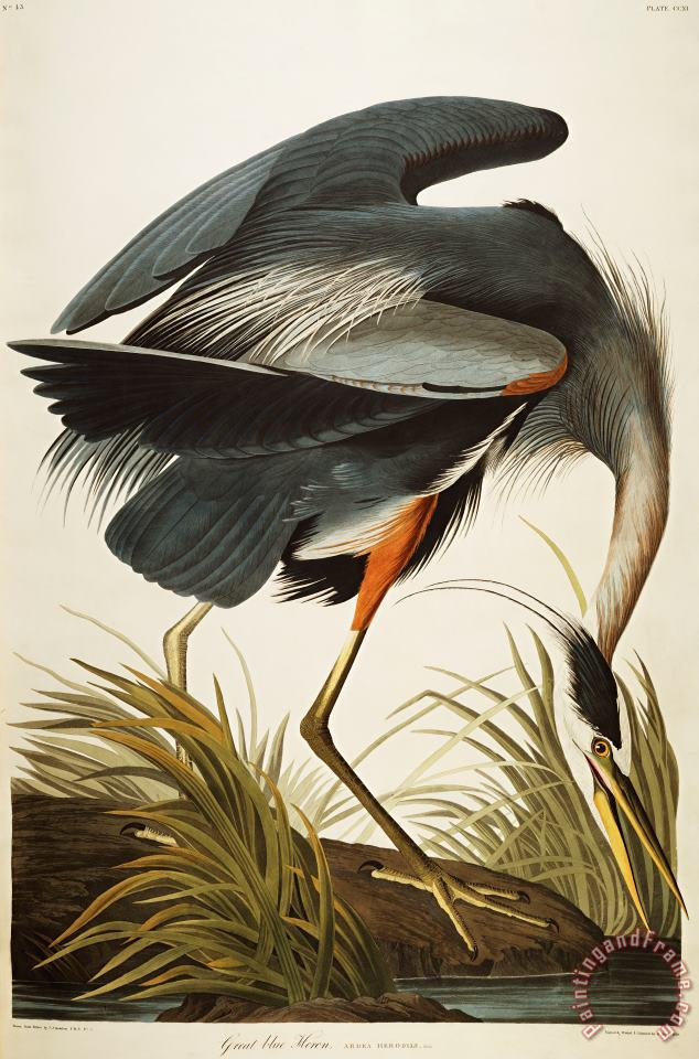 Great Blue Heron painting - John James Audubon Great Blue Heron Art Print