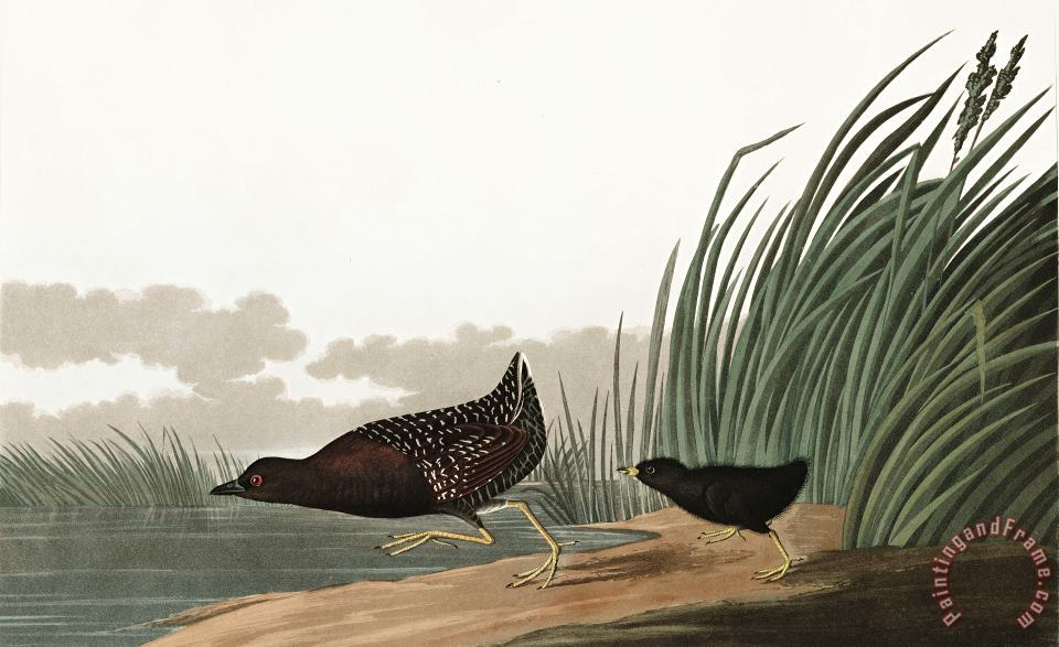 Least Water Hen painting - John James Audubon Least Water Hen Art Print