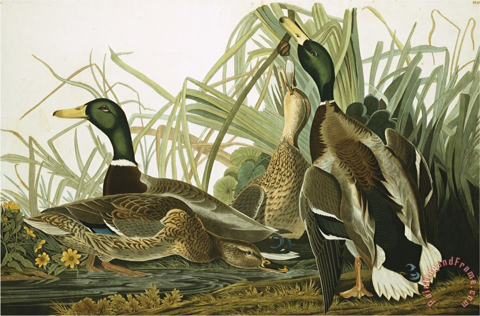 Mallard Duck Plate Ccxxi Aquatint with Engraving And Hand Colouring on J Whatman 1831 painting - John James Audubon Mallard Duck Plate Ccxxi Aquatint with Engraving And Hand Colouring on J Whatman 1831 Art Print