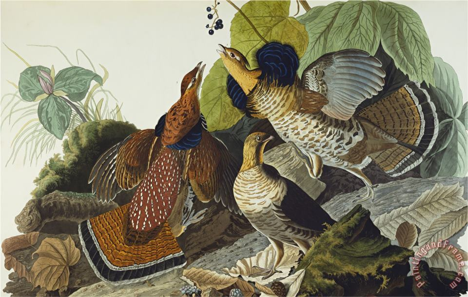 Ruffed Grouse Tetrao Umbellus Plate Xli From The Birds of America painting - John James Audubon Ruffed Grouse Tetrao Umbellus Plate Xli From The Birds of America Art Print