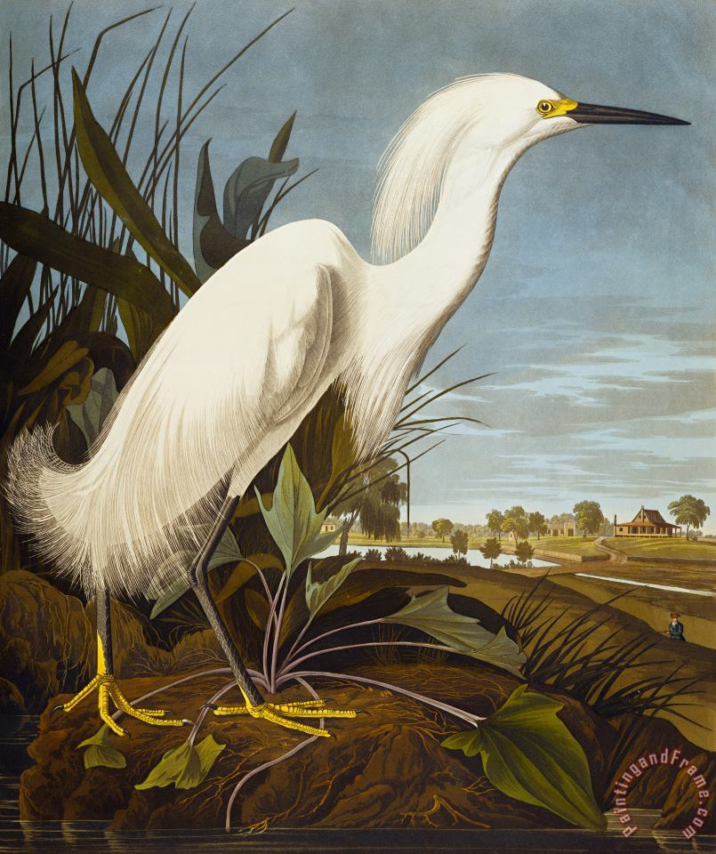John James Audubon Snowy Heron Or White Egret Snowy Egret Egretta Thula Plate Ccklii From The Birds of America Art Print
