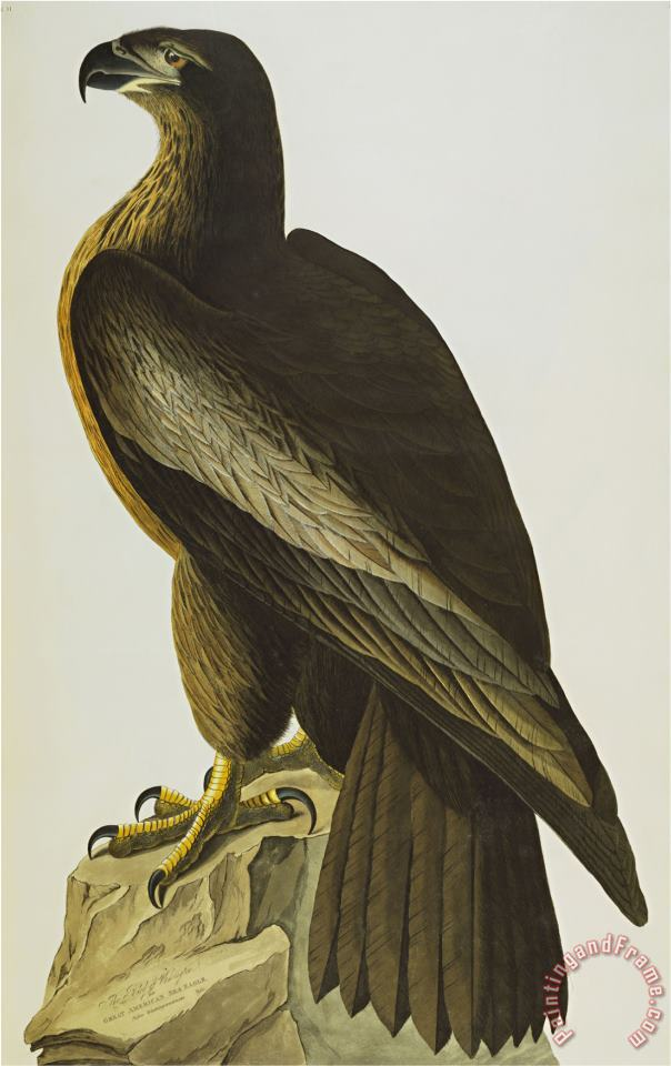 John James Audubon The Bird of Washington Bald Eagle Haliaeetus Leucocephalus Plate Xi From The Birds of America Art Painting