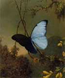 Blue Morpho Butterfly by Martin Johnson Heade