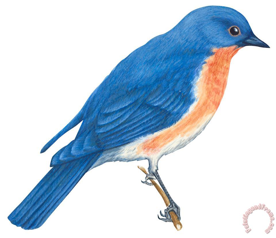 Others Eastern Bluebird Painting Eastern Bluebird Print For Sale