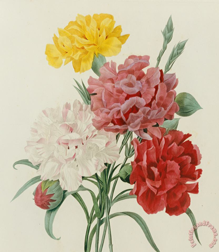 Carnations From Choix Des Plus Belles Fleures painting - Pierre Joseph Redoute Carnations From Choix Des Plus Belles Fleures Art Print