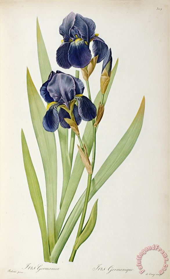 Pierre Joseph Redoute Iris Germanica Art Painting