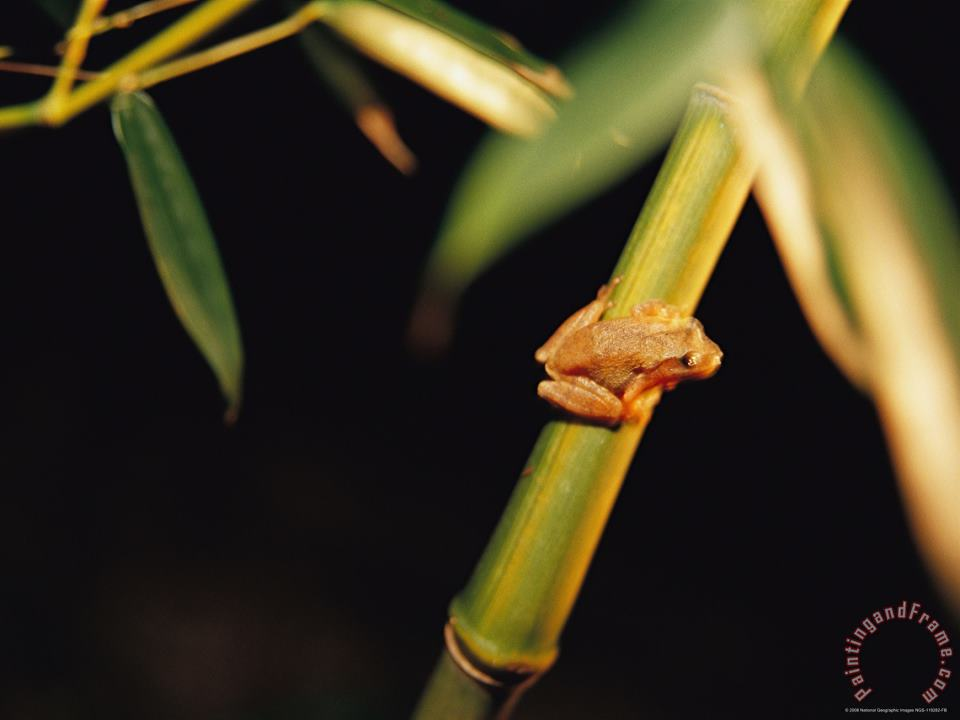 A Spring Peeper Frog Perches on a Bamboo Stalk painting - Raymond Gehman A Spring Peeper Frog Perches on a Bamboo Stalk Art Print