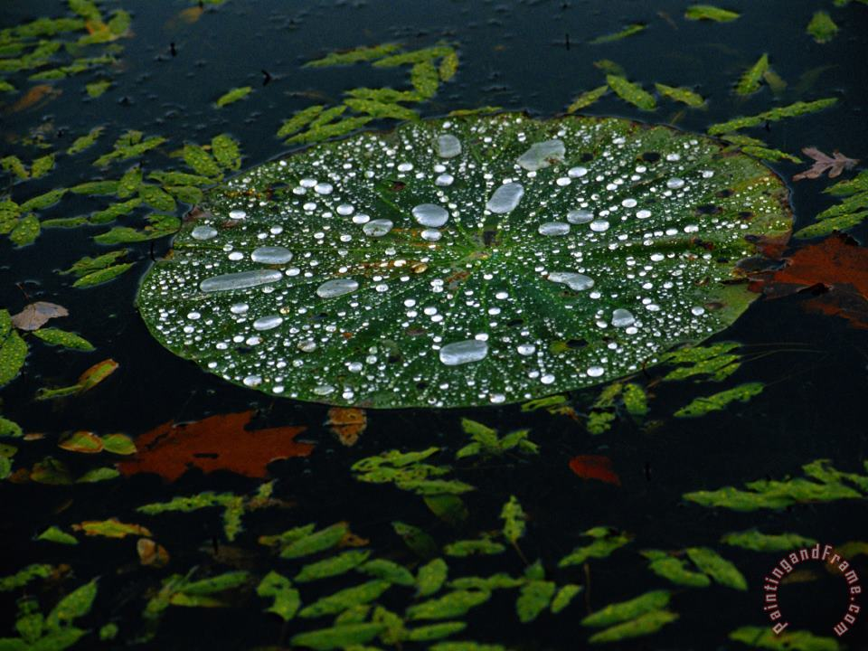 A Water Lily Pad Holds Rain Droplets painting - Raymond Gehman A Water Lily Pad Holds Rain Droplets Art Print