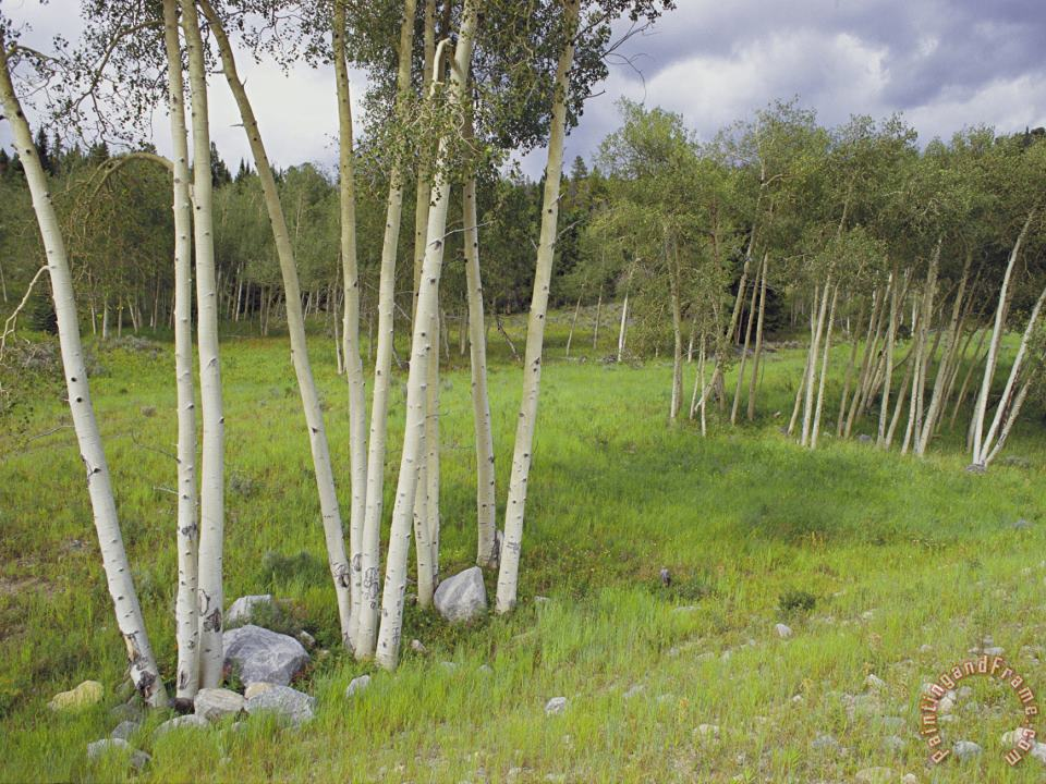 Aspen Trees Shoshone National Forest Wyoming painting - Raymond Gehman Aspen Trees Shoshone National Forest Wyoming Art Print