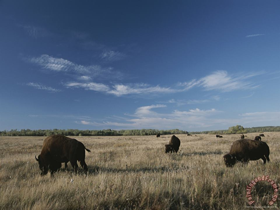 Raymond Gehman Bison Graze on a Field Set Against a Blue Sky with Wispy Clouds Art Print
