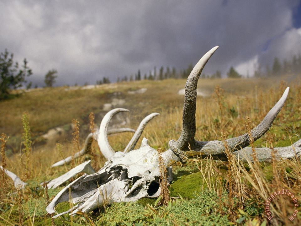 Bleached Antlers And Skull in a Mossy Meadow Mark The Demise of a Bull Elk painting - Raymond Gehman Bleached Antlers And Skull in a Mossy Meadow Mark The Demise of a Bull Elk Art Print