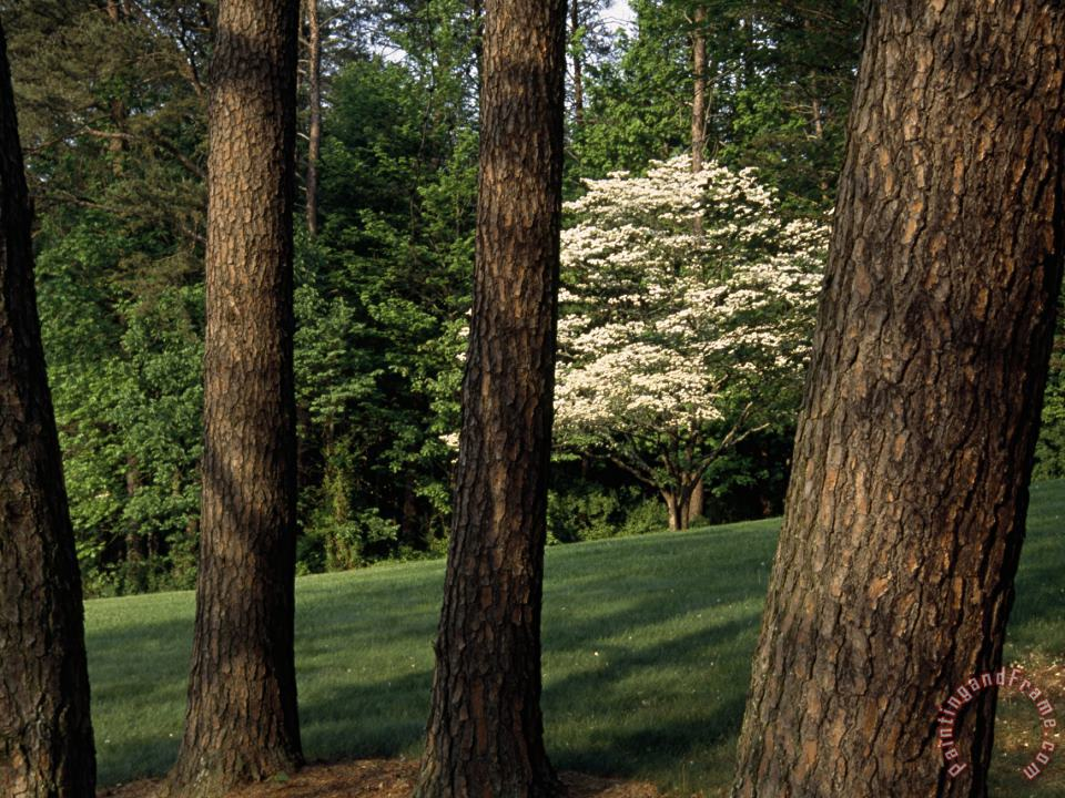 Blooming Dogwood Tree Among Pine Trees painting - Raymond Gehman Blooming Dogwood Tree Among Pine Trees Art Print