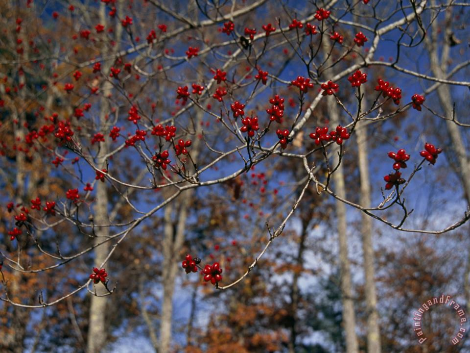 Branches of Bright Red Dogwood Berries painting - Raymond Gehman Branches of Bright Red Dogwood Berries Art Print