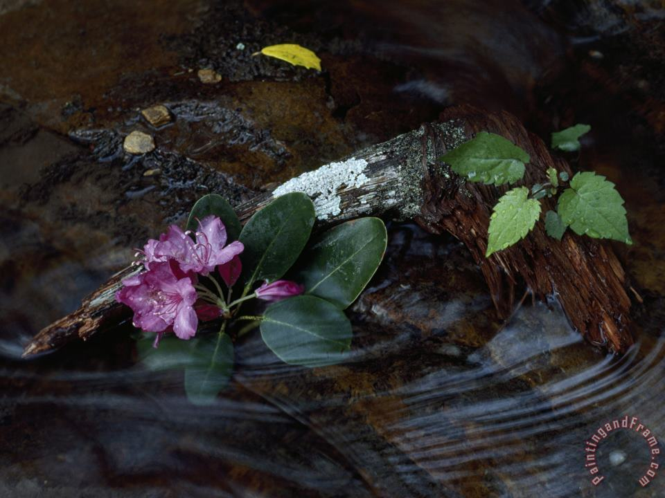 Catawba Rhododendron Blossom in a Mountain Stream in Hanging Rock State Park North Carolina painting - Raymond Gehman Catawba Rhododendron Blossom in a Mountain Stream in Hanging Rock State Park North Carolina Art Print