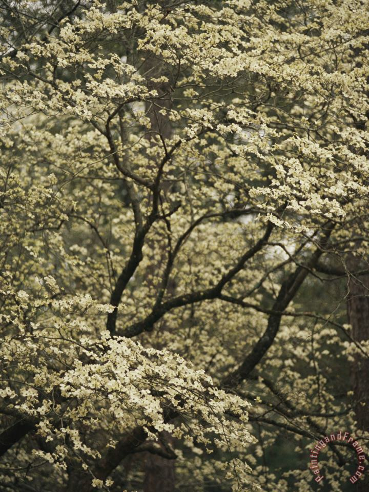 Delicate White Blossoms Fill a Dogwood Tree in The Spring painting - Raymond Gehman Delicate White Blossoms Fill a Dogwood Tree in The Spring Art Print