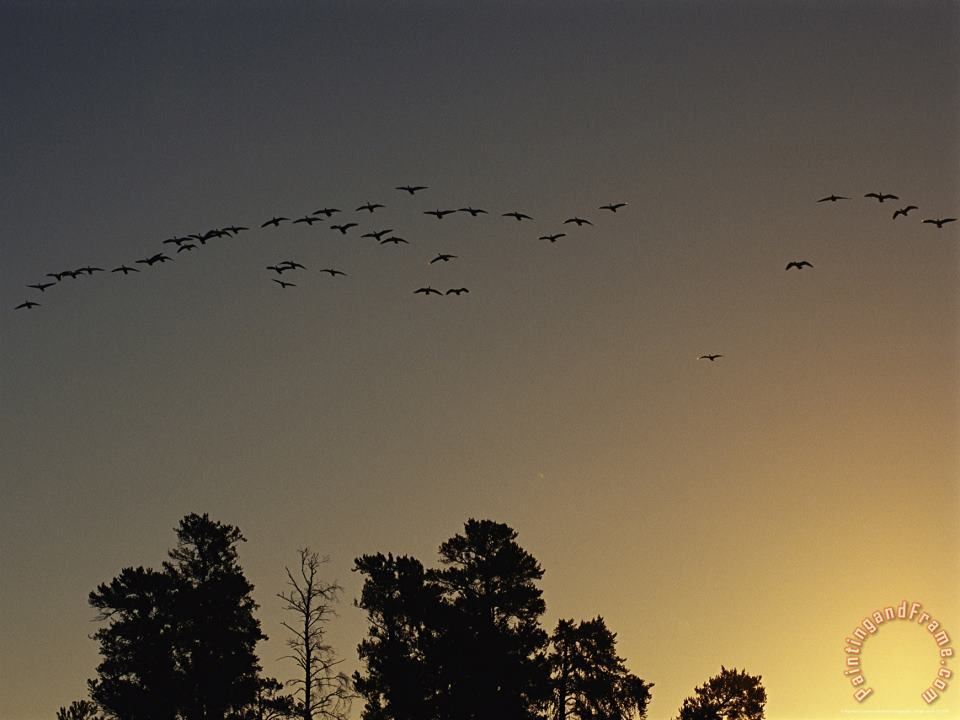 Flock of Geese Take Flight As The Sun Sets on a Manitoba Park painting - Raymond Gehman Flock of Geese Take Flight As The Sun Sets on a Manitoba Park Art Print
