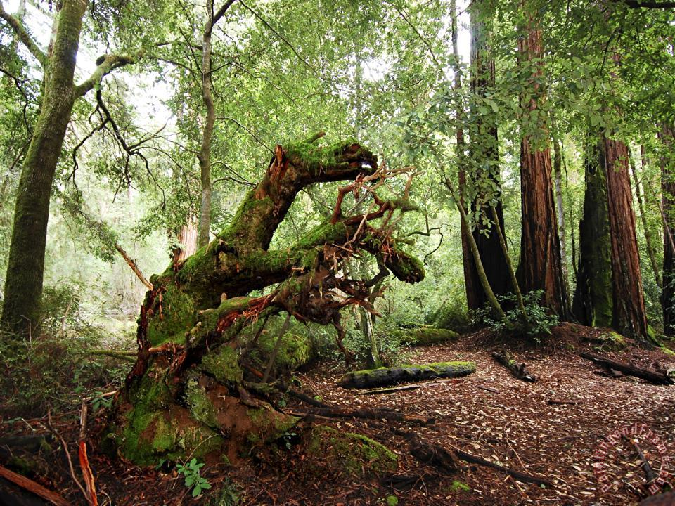 Giant Redwood Tree Root Ball Looking Like a Leaping Horse painting - Raymond Gehman Giant Redwood Tree Root Ball Looking Like a Leaping Horse Art Print