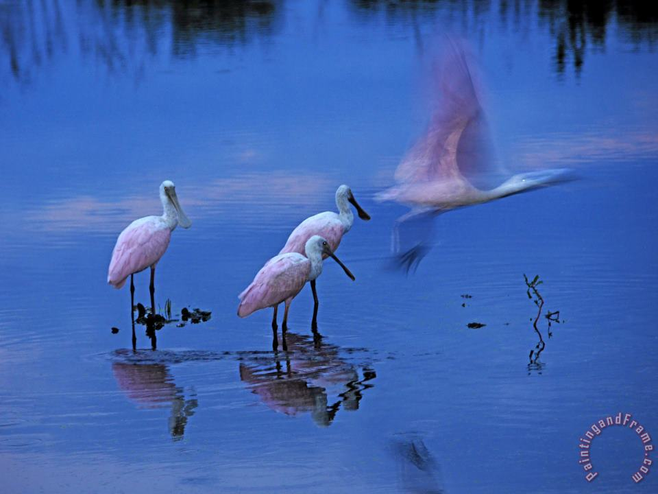Raymond Gehman Roseate Spoonbills Line Up to Take Flight From Twilight Waters Art Painting