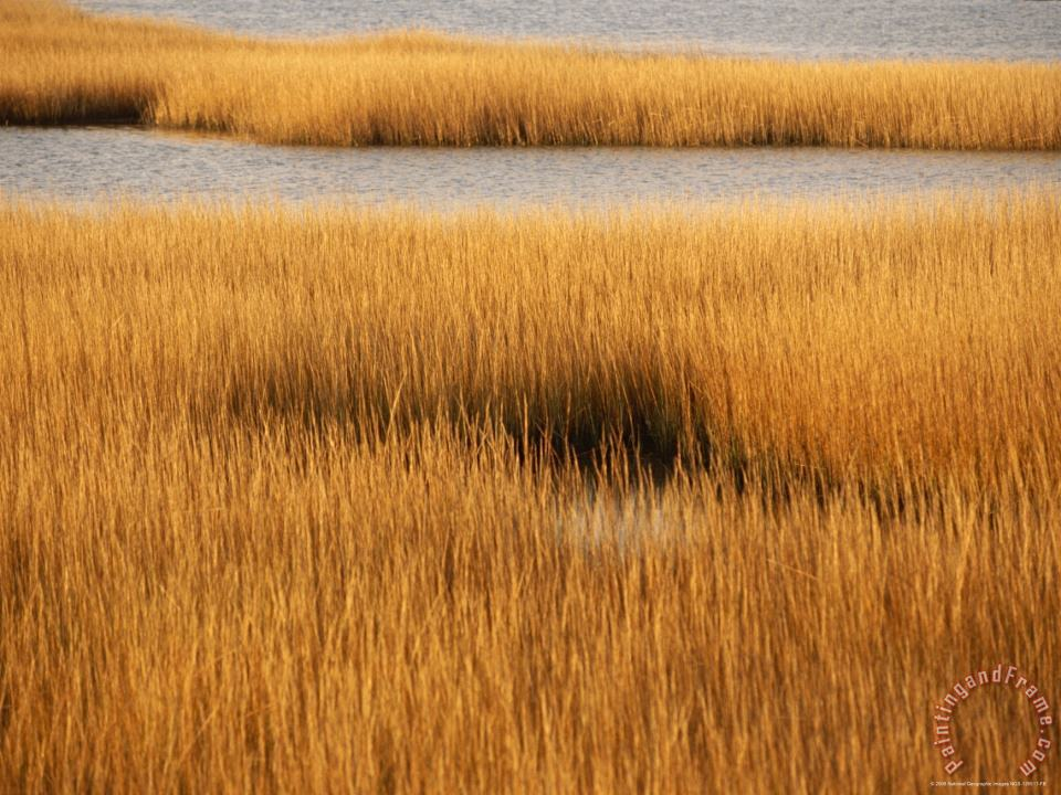 Raymond Gehman Salt Marsh with Cordgrass at Toms Cove on The Atlantic Ocean Art Painting