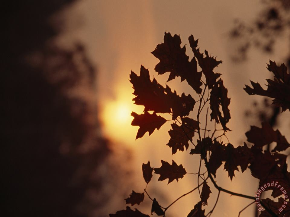 Silhouetted Oak Leaves at Sunset painting - Raymond Gehman Silhouetted Oak Leaves at Sunset Art Print