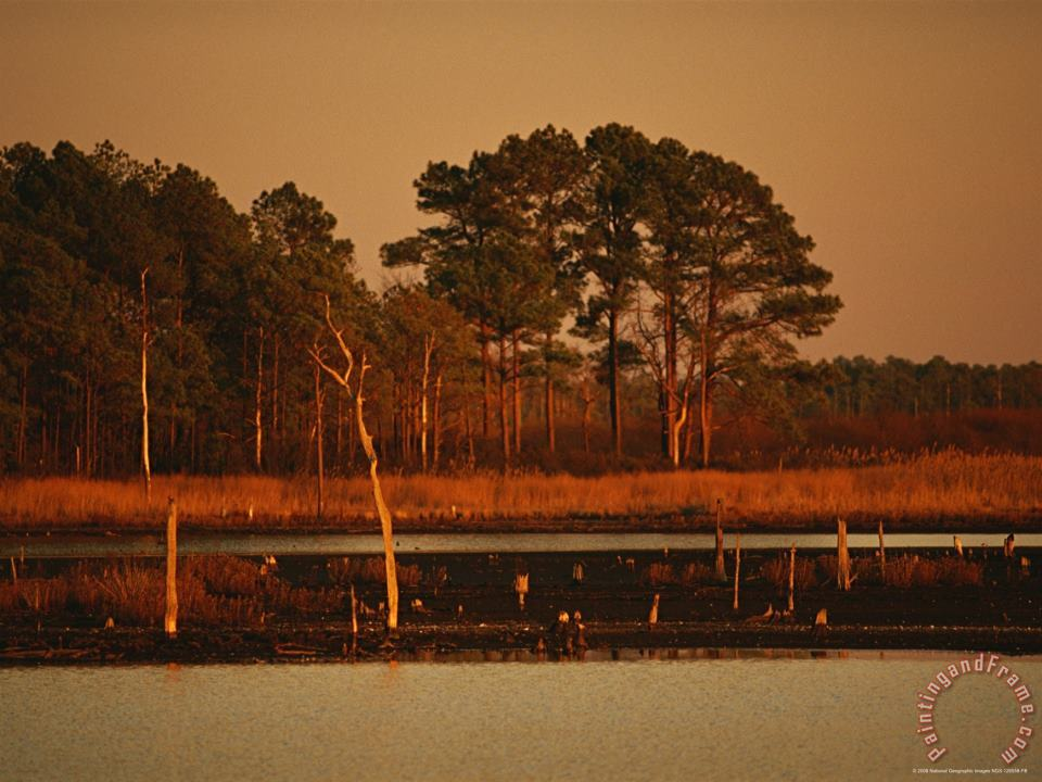 Sunset on Loblolly Pines Near a Brackish Tidal Marsh painting - Raymond Gehman Sunset on Loblolly Pines Near a Brackish Tidal Marsh Art Print