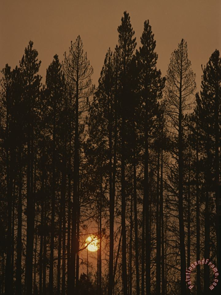 The Sun Sets Behind a Smoke Choked Wood of Lodgepole Pines painting - Raymond Gehman The Sun Sets Behind a Smoke Choked Wood of Lodgepole Pines Art Print