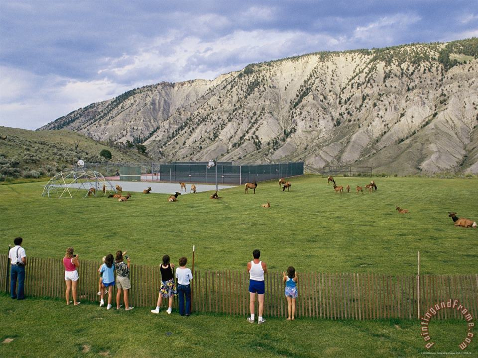 Tourists Photograph Elk Or Wapiti Cervus Elaphus in a Playground Area at Park Headquarters painting - Raymond Gehman Tourists Photograph Elk Or Wapiti Cervus Elaphus in a Playground Area at Park Headquarters Art Print