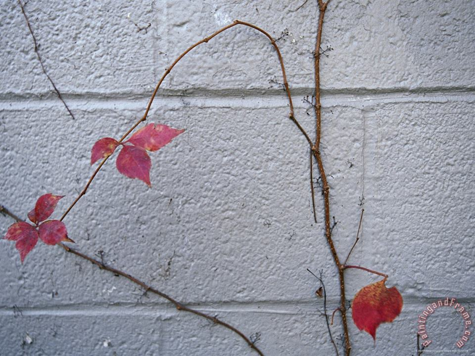 Raymond Gehman Virginia Creeper with Fall Colors Clings to a Wall of a Building Art Print