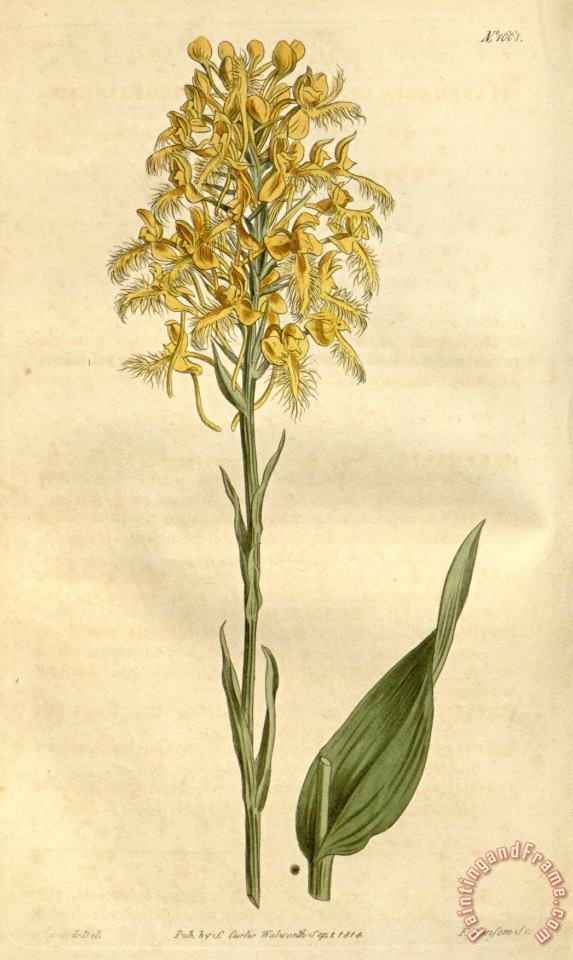 Platanthera Ciliaris (as Habenaria Ciliaris) 1814 painting - Sydenham Teast Edwards Platanthera Ciliaris (as Habenaria Ciliaris) 1814 Art Print