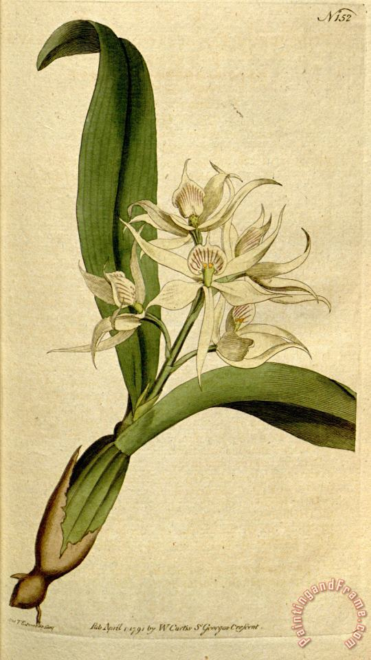 Prosthechea Fragrans (as Epidendrum Cochleatum Curtis) 1792 painting - Sydenham Teast Edwards Prosthechea Fragrans (as Epidendrum Cochleatum Curtis) 1792 Art Print