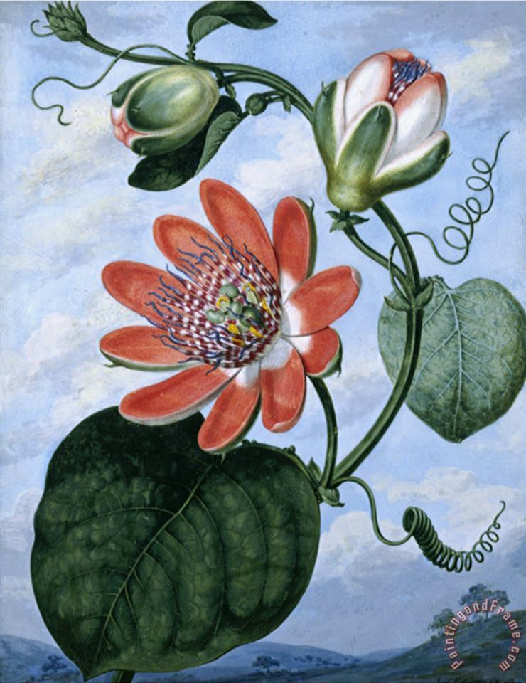Sydenham Teast Edwards The Winged Passion Flower Art Painting