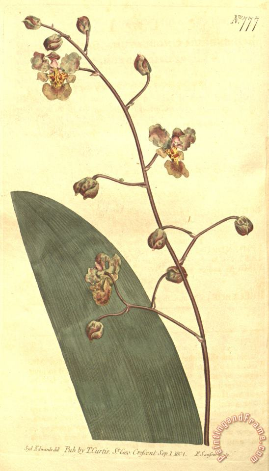 Trichocentrum Undulatum (as Epidendrum Undulatum) 1804 painting - Sydenham Teast Edwards Trichocentrum Undulatum (as Epidendrum Undulatum) 1804 Art Print