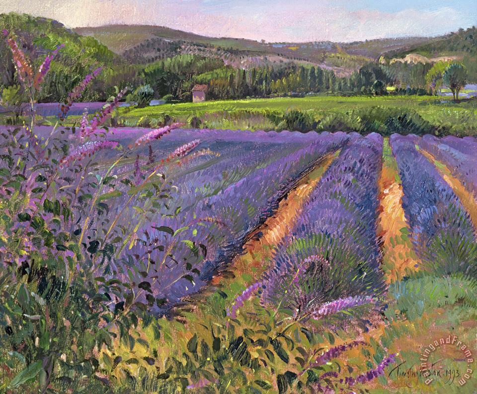 Timothy Easton Buddleia And Lavender Field Montclus Art Print