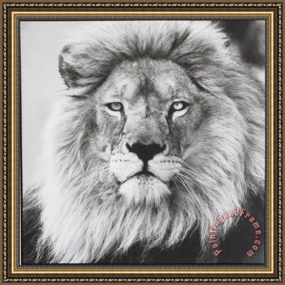 ausue Lion 5 Framed Print