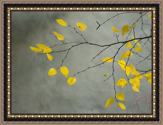 Collection Yellow Autumnal Birch Betula Tree Limbs Against Gray Stucco Wall Framed Painting